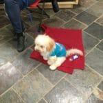 'Boston' in Puppy Graduate Class